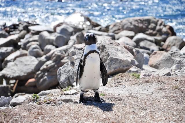 etelä-afrikka pingviinit