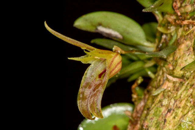 Barbosella australis