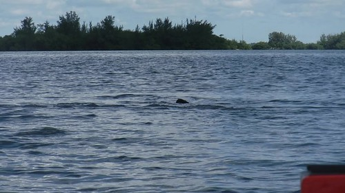 Indian River Manatees