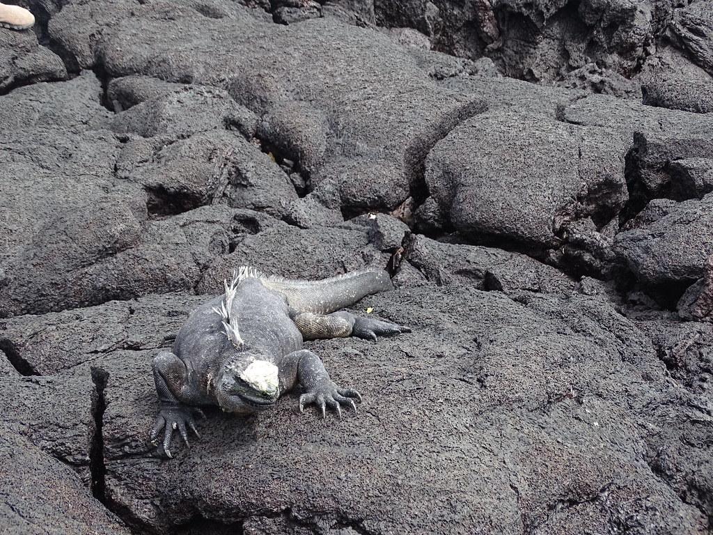 Fauna fotos Concha Perla Isla Isabela Parque Nacional Galapagos Ecuador 03