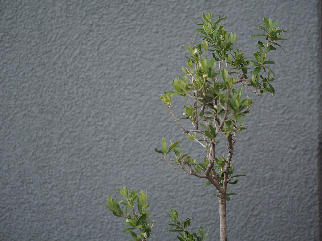 Olivenbäumchen vor grauer Wand