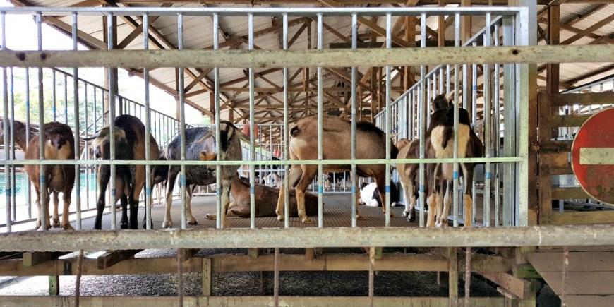 Goat Farm 2