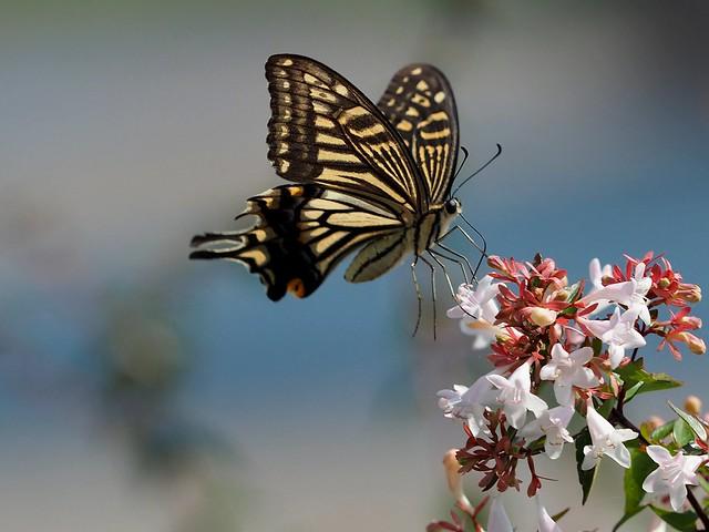 Old World swallowtail butterfly (キアゲハ)