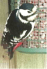 Great_spotted_woodpecker_4