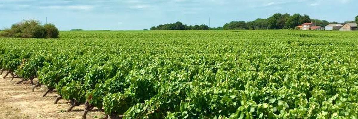La viticulture au sein du vignoble nantais.