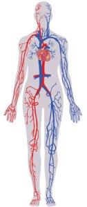 Indications ostéopathiques - Système cardio vasculaire - congestion veineuse - troubles circulations des membres - hémorroides - palpitations