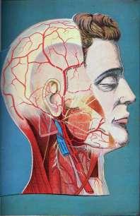 Head Muscles