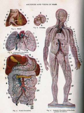 Arteries and Veins in Man