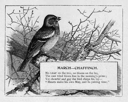March - Chaffinch