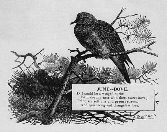 June - Dove