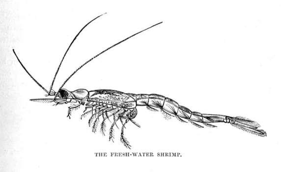 The Fresh-Water Shrimp