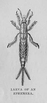 Larva of an Ephemera (Mayfly)