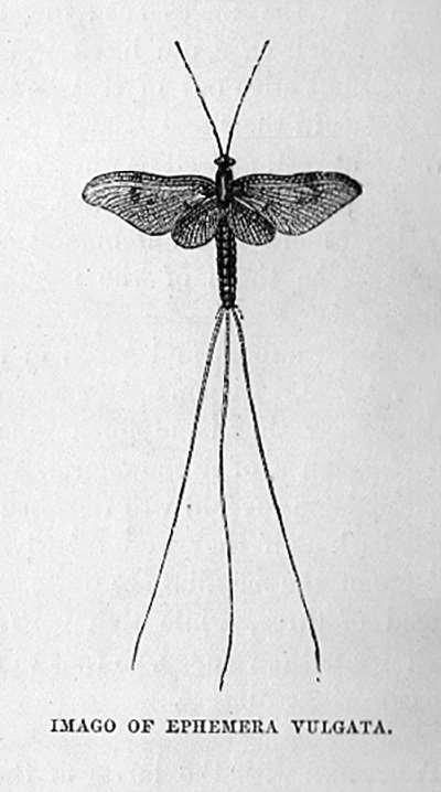 Imago of Ephemera Vulgata (Mayfly)