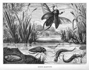 Dyticus Marginalis (Great Diving Beetle)
