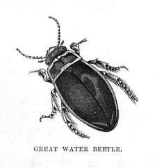 Great Water Beetle