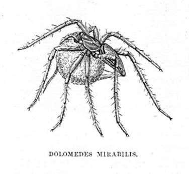 Dolomedes Mirabilis (Nursery Web Spider)