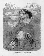 Argyronetera Aquatica (Diving Bell Spider)