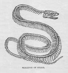 Skeleton of Snake