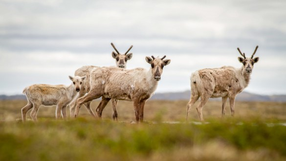 A file photo of barren-ground caribou - Alexandre Paiement-WWF-Canada