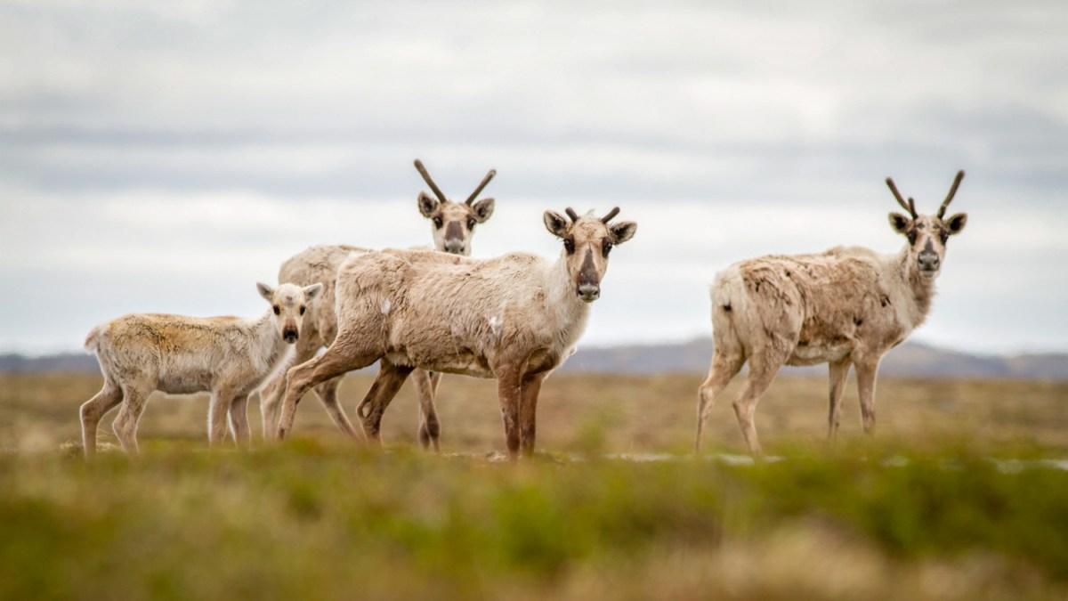 WWF-Canada wants federal intervention over caribou