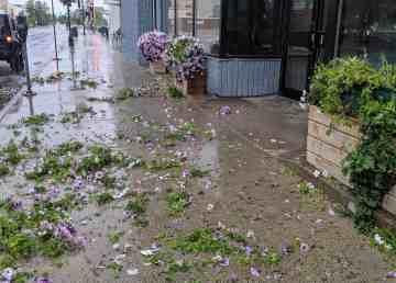 RBC Royal Bank petunias received the brunt of the vandalism. Sarah Pruys/Cabin Radio