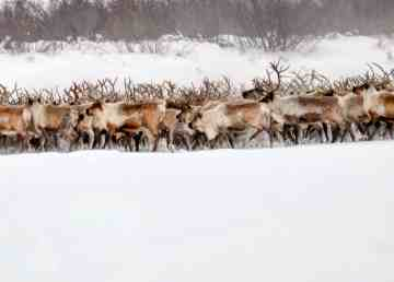 The Inuvik reindeer herd