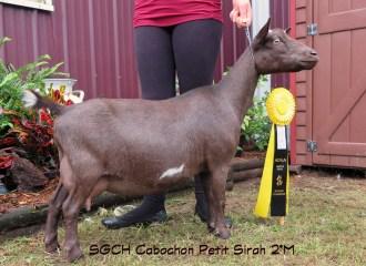 Cabochon Farm Registered Nigerian Dwarf Dairy Goats In Mn