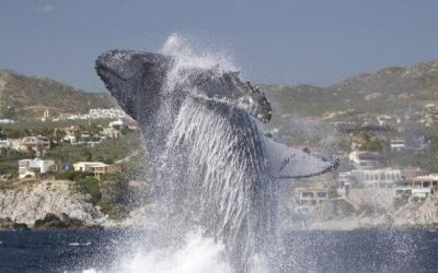 Whale Watching Tours in Cabo San Lucas, Full Breach