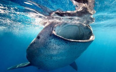 Nadar con los Tiburon Ballena en La Paz una experiecia unica a ver los pez sapo en Mexico