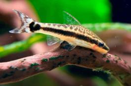 Best Algae Eaters Otocinclus Catfish