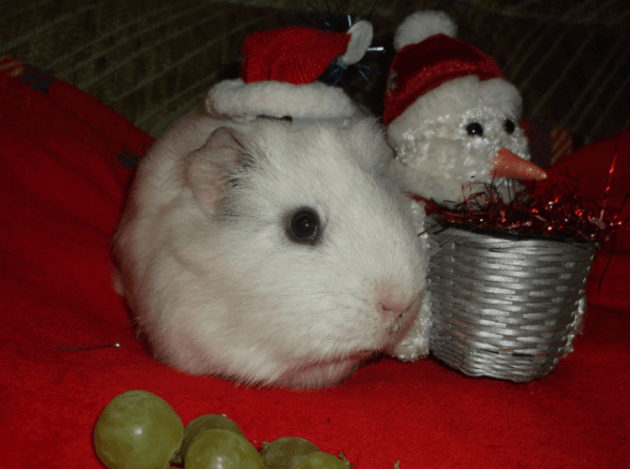 can guinea pigs eat black grapes
