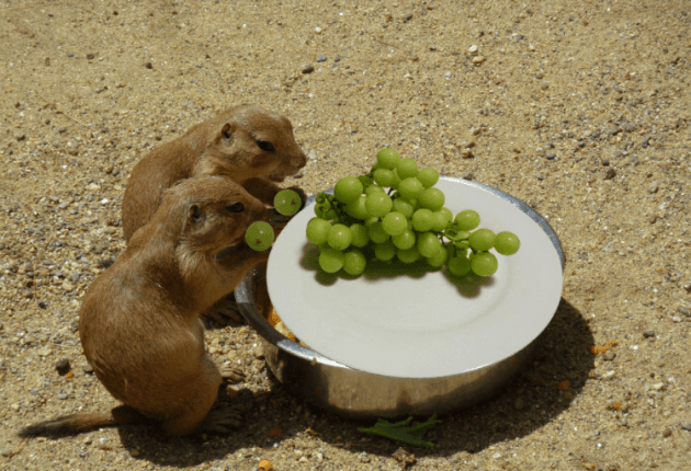 can guinea pigs eat non seedless grapes