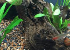 Nerite Snail Eggs