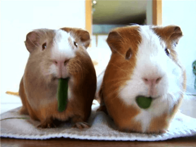 what can guinea pigs eat celery