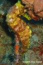 Hypo jaune
