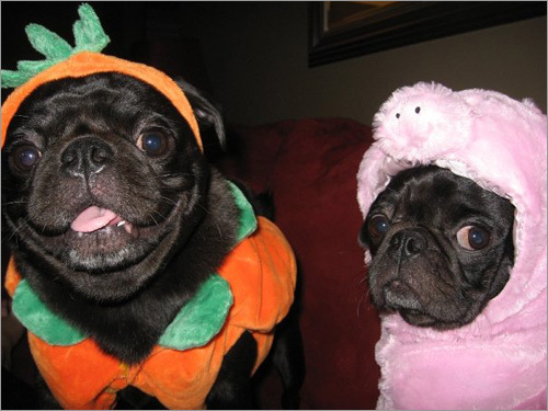 Roscoe dressed as a pumpkin and Mr. Wiggles dressed as a pig. 'Mr. Wiggles is only sad in this picture because his brother got to be the pumpkin this year!' said owner Beth-Anne Sullivan.