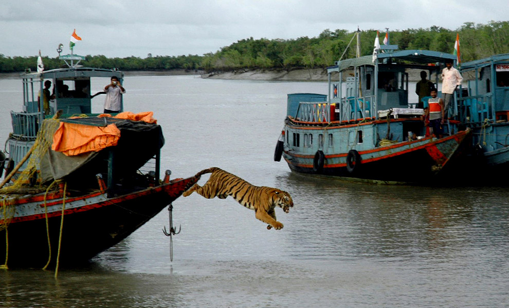 Bengal tiger is released into the wild over at The Big Picture