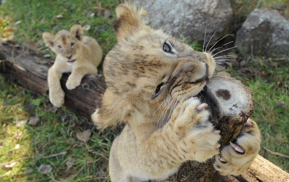 Lion cubs @ The Big Picture