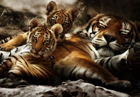 National Geographic Wallpaper Fall Tiger Family Cats Amp Animals Background Wallpapers On
