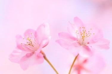 Soft Pink Flowers & Nature Background Wallpapers on Desktop Nexus Image 1710210