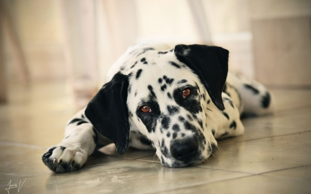 Cute White Dogs Wallpapers Dalmatian Puppy Dogs Amp Animals Background Wallpapers On