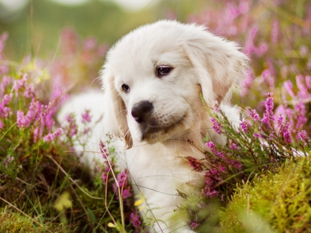 golden retriever puppy dogs