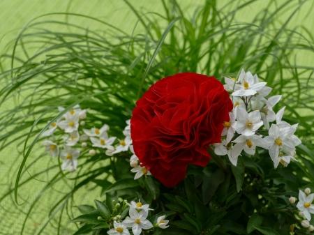 Red rose White Jasmine Flowers Flowers Nature