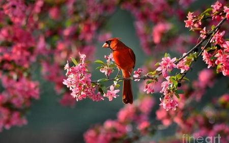 Pink Fall Desktop Wallpaper Cardinal Birds Amp Animals Background Wallpapers On