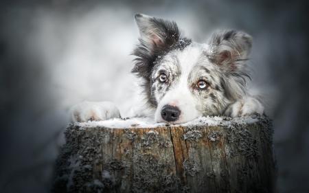 Wallpaper Download Cute Lovers Australian Shepherd Dogs Amp Animals Background Wallpapers