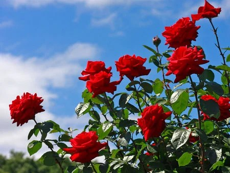 Red Rose Beauty  Flowers  Nature Background Wallpapers