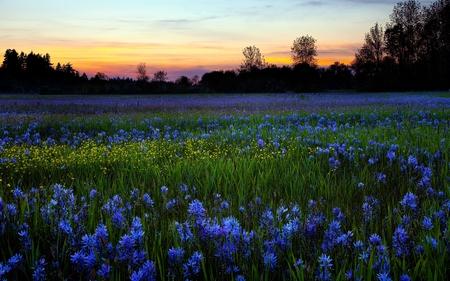 field of flowers - fields & nature