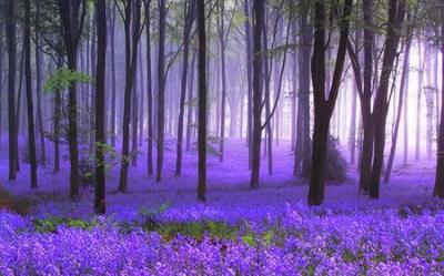 forest purple desktop