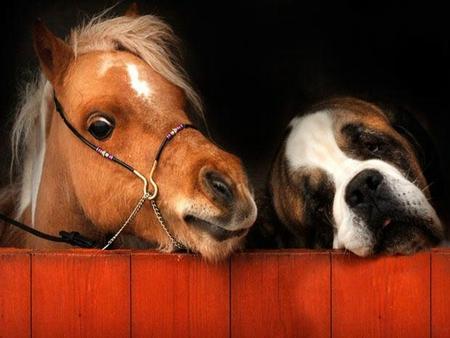 Saint Cute Puppy Hd Wallpaper Cute Pony And Saint Bernard Horses Amp Animals Background