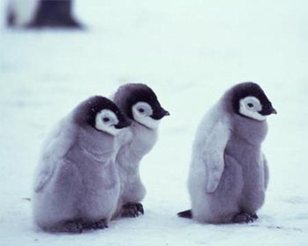 three fluffy penguins birds